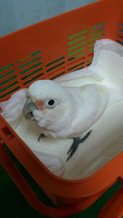น้อง sky นกแก้วพันธุ์ Goffin cockatoo กับน้อง sonar พันธุ์ Moluccan cockatoo มาตรวจเพศ ตรวจไวรัส  ถ่ายพยาธิ   กรอเล็บครั...